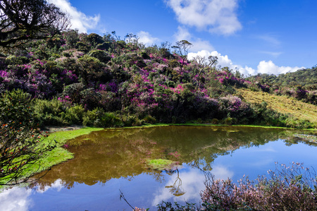 Horton Plains National Park, Sri Lanka when Nelu Flower (Strobilanthes) Blooming season. An incident which happens once in 12 years.