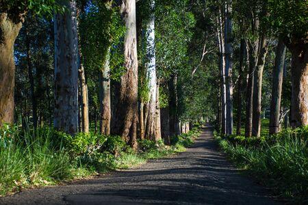 Tree avenue of Allakolla Estate, it is a tea estate near Knuckles forest reserve in kandy Sri Lanaka.