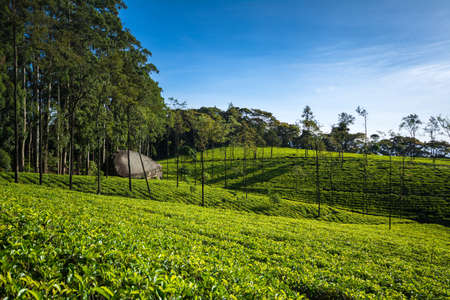 The Loolecondera estate was the first tea plantation estate in Sri Lanka (Ceylon) started in 1867 by Scotsman James Taylor, it is situated in Kandy, Sri Lanka. 写真素材