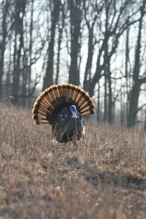 tom: Wild Turkey Stock Photo