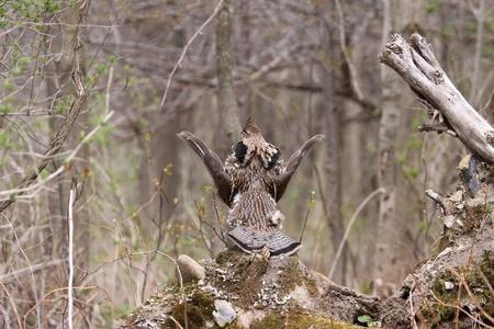 grouse: Ruffed Grouse