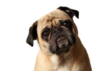 tilting: Closeup of a Pug tilting his head. Stock Photo