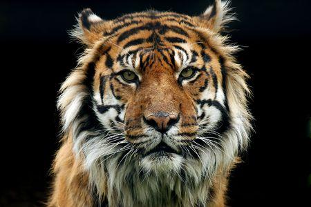 sumatran tiger: Primo piano di un aggressivo tigre di Sumatra. Archivio Fotografico