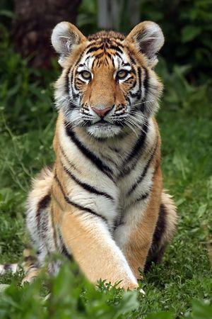 ussuri: Siberian Tiger Cub Stock Photo
