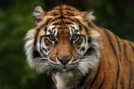sumatran tiger: Scary Sumatran