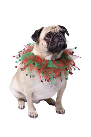 carlin: Christmas Pug Stock Photo