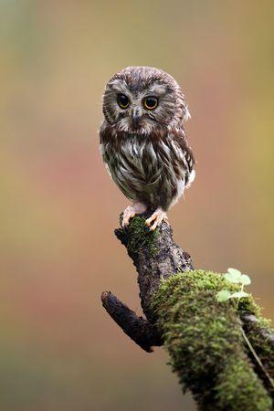 Saw-Whet Owl photo