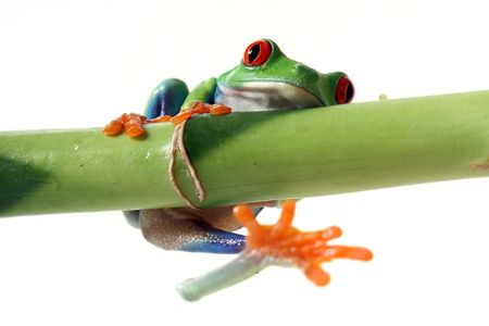 Hanging Tree Frog photo