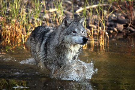 Wolf Making A Splash  Foto de archivo