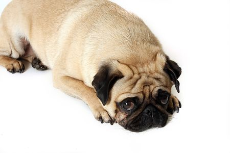 carlin: Tired Pug
