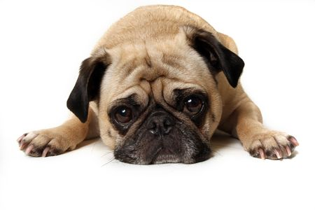 carlin: Guilty Pug Staring At The Camera