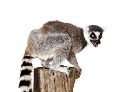 Angry Ringtailed Lemur
