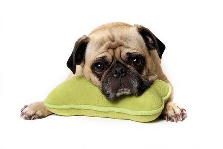 carlin: Tired Pug resting his head on a toy.