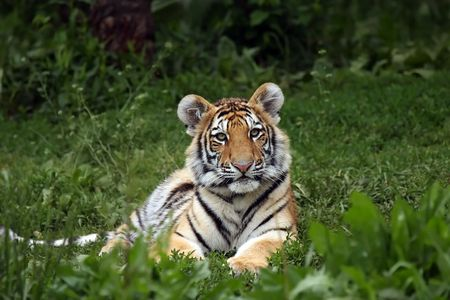 Young Siberian Tiger Cub Laying In The Grass photo