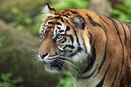 sumatran tiger: Sumatran Tiger Profile Stock Photo