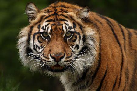 Closeup Of An Aggressive Sumatran Tiger