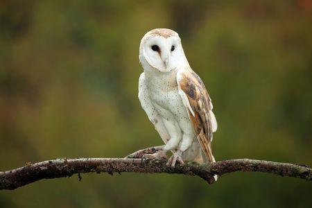 Barn Owl zit stokken op een branch