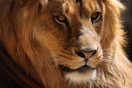 dangerous lion: Closeup of a male African Lion Stock Photo