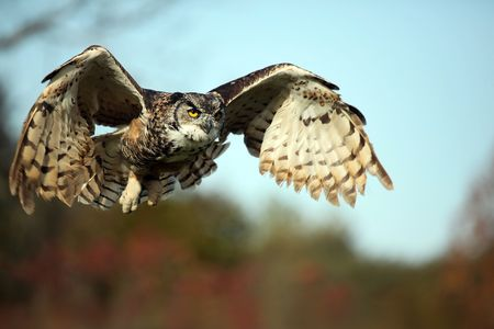 Great Horned Owl in flight. Stock Photo