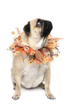 carlin: Cute Pug wearing a halloween collar. Stock Photo