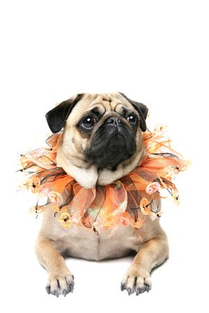 carlin: Pug wearing a Halloween collar and isolated on a white background.