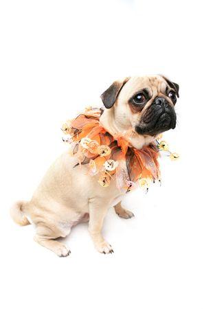carlin: Pug wearing a halloween collar and staring at the camera.