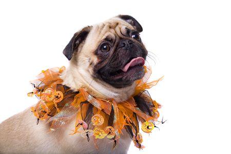 carlin: Closeup of a Pug wearing a halloween collar Stock Photo