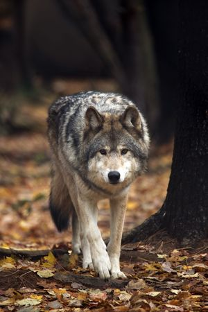 grey: Wolf approaching against a blurred autumn background.
