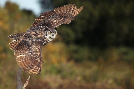 Great Horned Owl taking off from a perch.