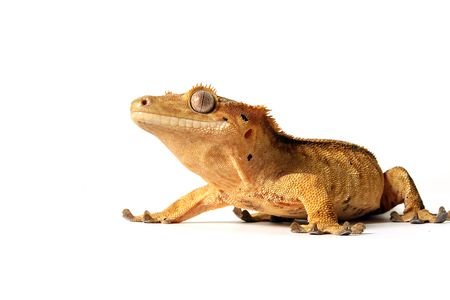 crested gecko: Crested Gecko on white background.