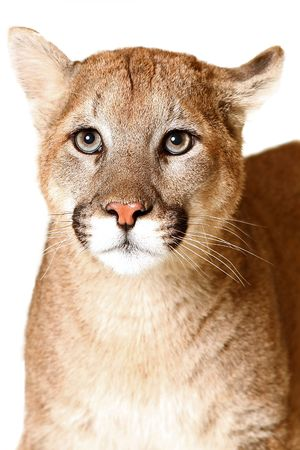 cougar: Studio portrait of a Mountain Lion.