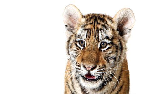 Studio portrait of a Siberian Tiger Cub