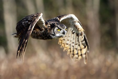 Great Horned Owl in flight. Foto de archivo