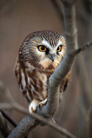 Northern Saw-Whet Owl photo