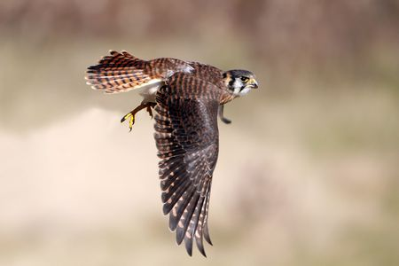 American Kestrel in flight.