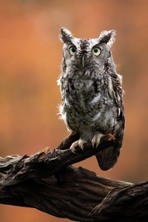 Eastern Screech Owl against a blurred background. photo