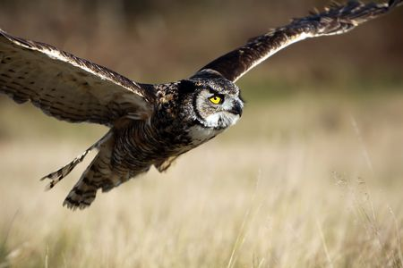Closeup of a Great Horned Owl in flight. photo