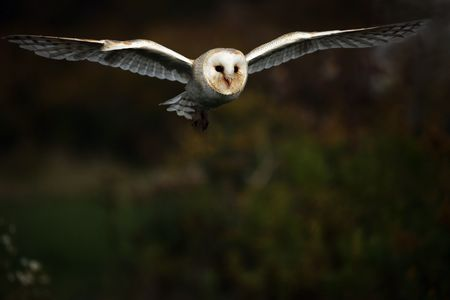 the bird of prey: Barn Owl in flight. Stock Photo