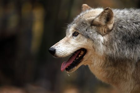 Closeup of a hungry Wolf Stock Photo
