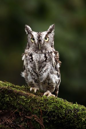 Closeup of an Eastern Screech Owl photo