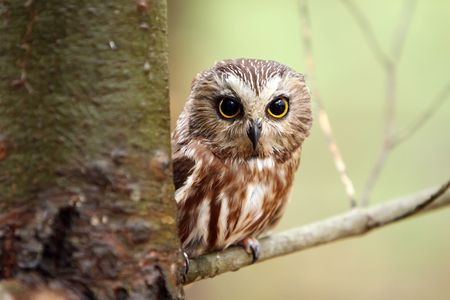 perching: Northern Saw-Whet Owl perching on a branch.