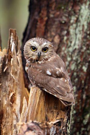 Northern Saw-Whet Owl on a tree stump. photo