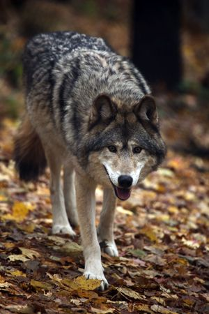grey: Timber Wolf approaching against blurred autumn background.