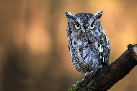 Eastern Screech Owl Stock Photo - 5927571