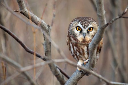 Wild Northern Saw-Whet Owl photo