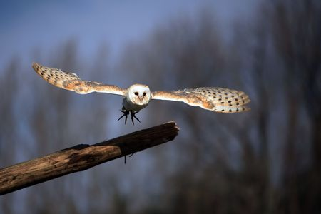 Barn Owl taking off from a natural perch.