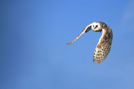 Barn Owl in flight. Stok Fotoğraf
