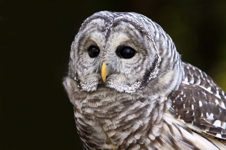 barred: Closeup of a Barred Owl