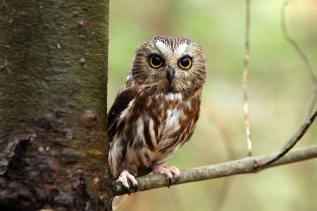 Northern Saw-Whet Owl perching in a tree. Stock Photo