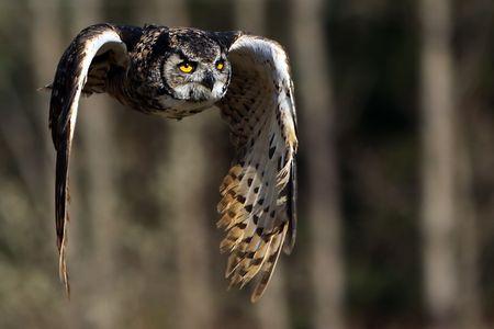 Great Horned Owl in flight. Stock Photo